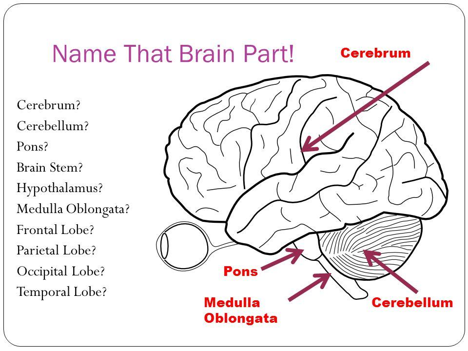 Name That Brain Part! Cerebrum.