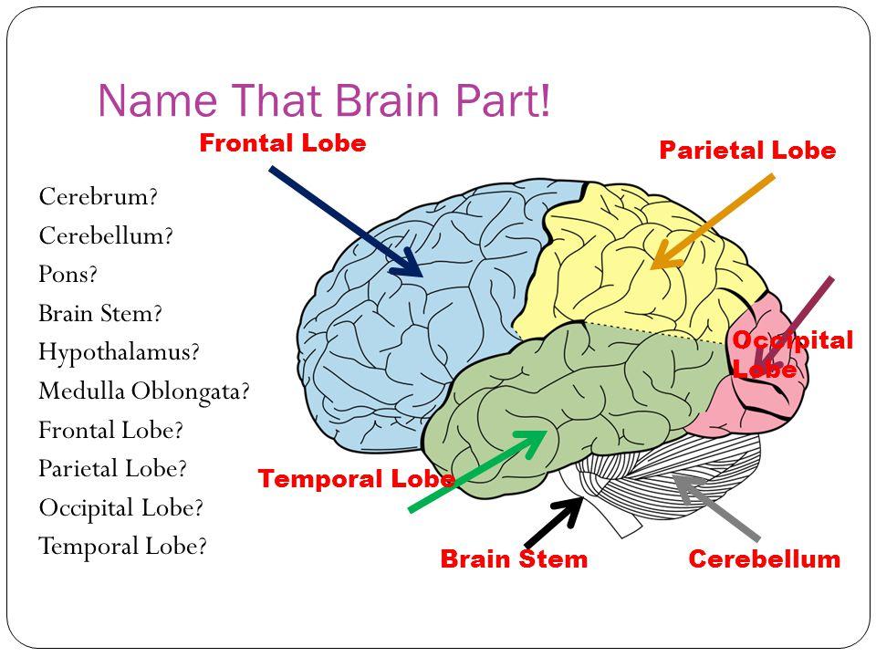 Name That Brain Part! Frontal Lobe. Parietal Lobe.