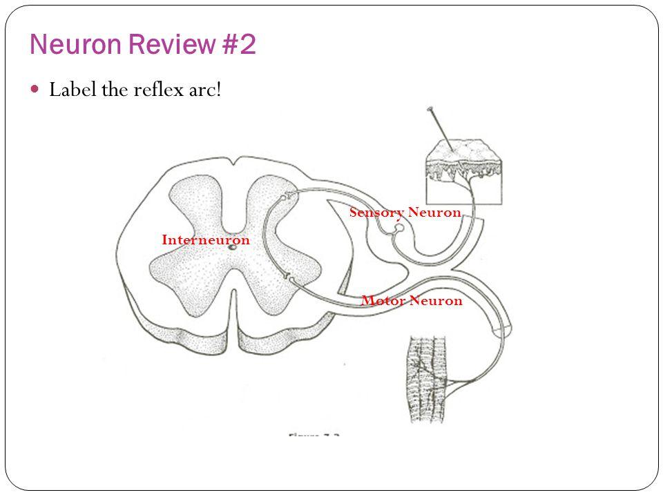 Neuron Review #2 Label the reflex arc! Sensory Neuron Interneuron