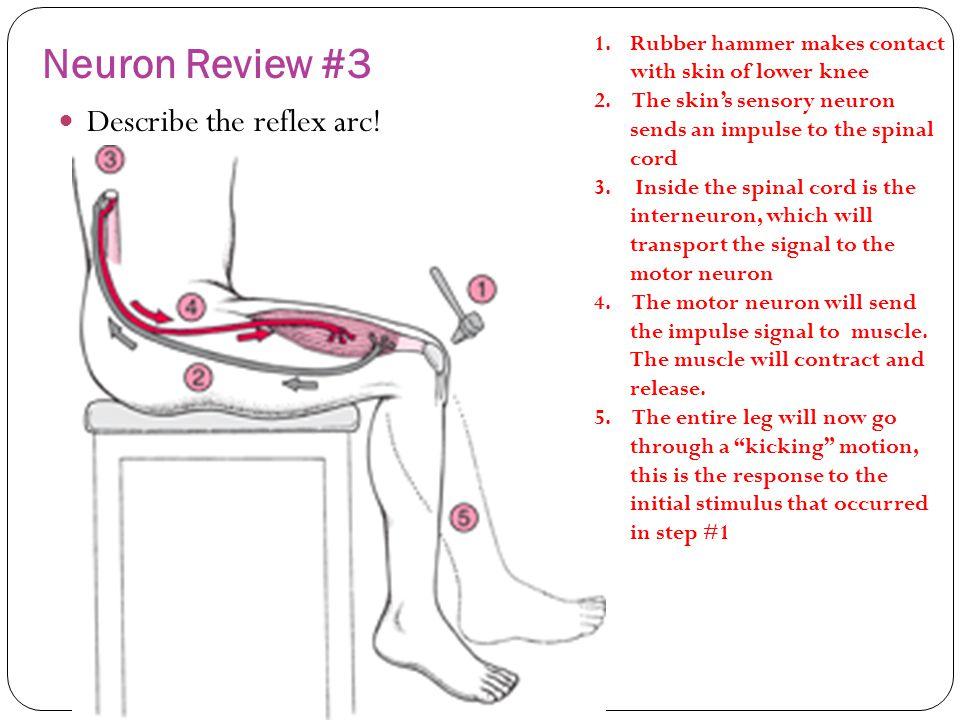 Neuron Review #3 Describe the reflex arc!