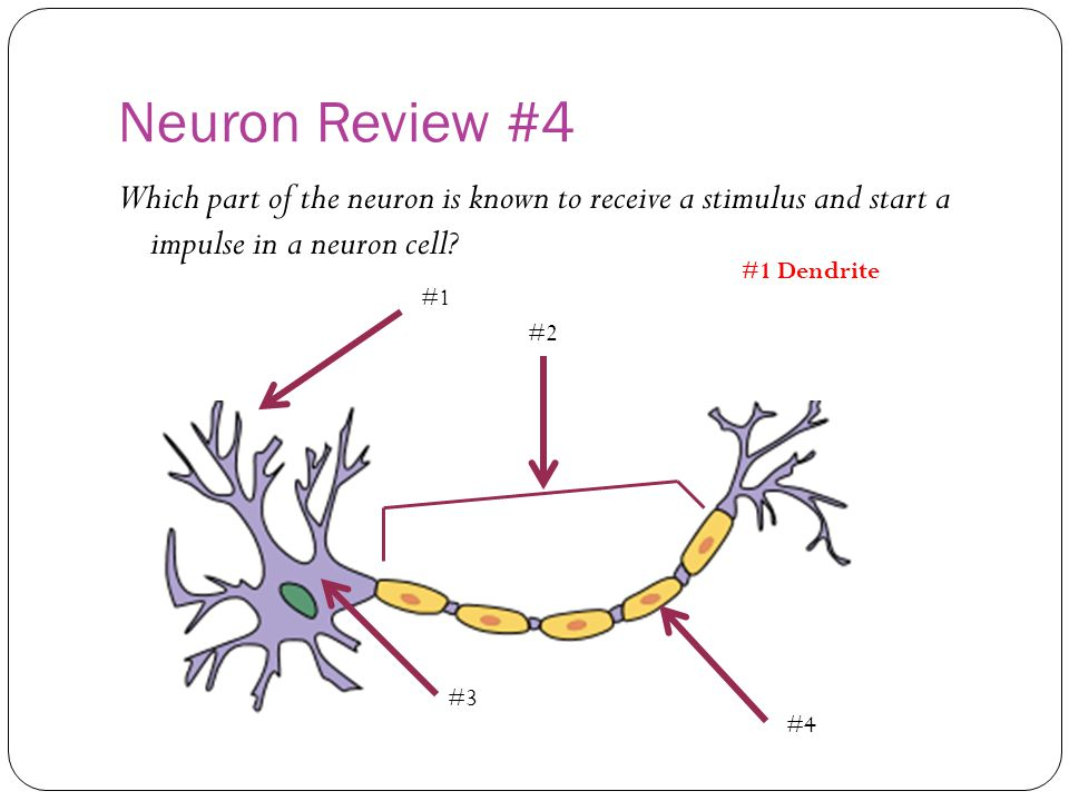 Neuron Review #4 Which part of the neuron is known to receive a stimulus and start a impulse in a neuron cell