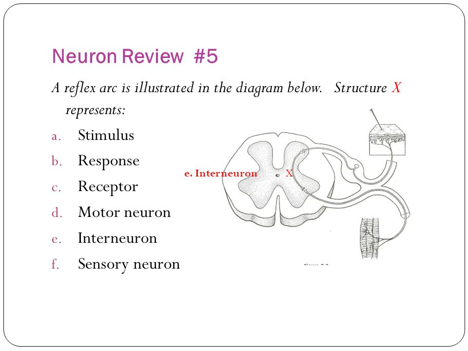 Neuron Review #5 A reflex arc is illustrated in the diagram below. Structure X represents: Stimulus.