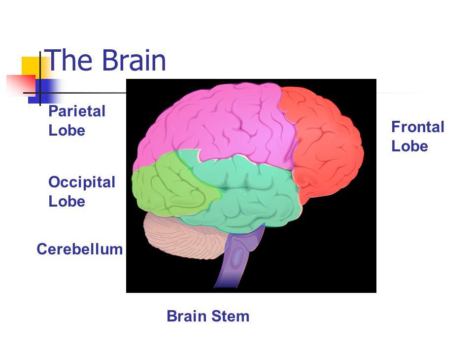 The Brain Parietal Lobe Frontal Lobe Occipital Lobe Cerebellum