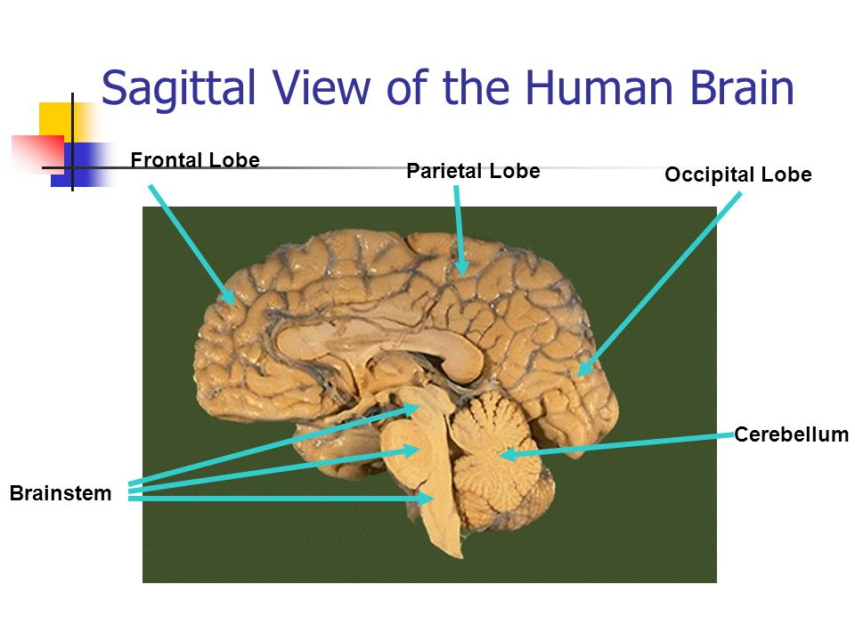 Adolescent Brain Development And Sexual Decision Making Ppt Download