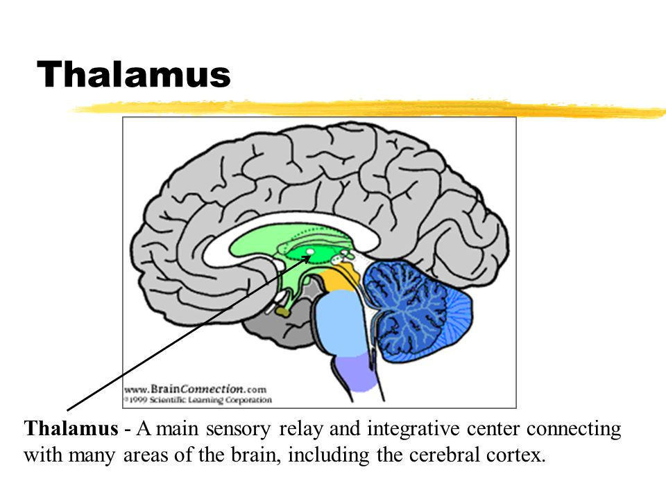 Thalamus Thalamus - A main sensory relay and integrative center connecting with many areas of the brain, including the cerebral cortex.