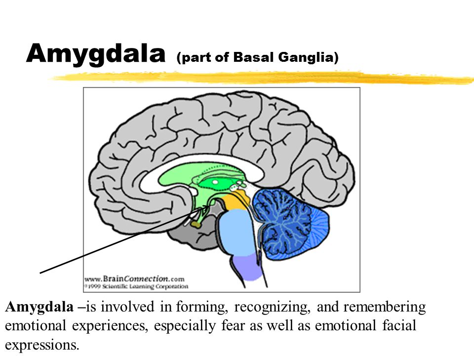 Amygdala (part of Basal Ganglia)