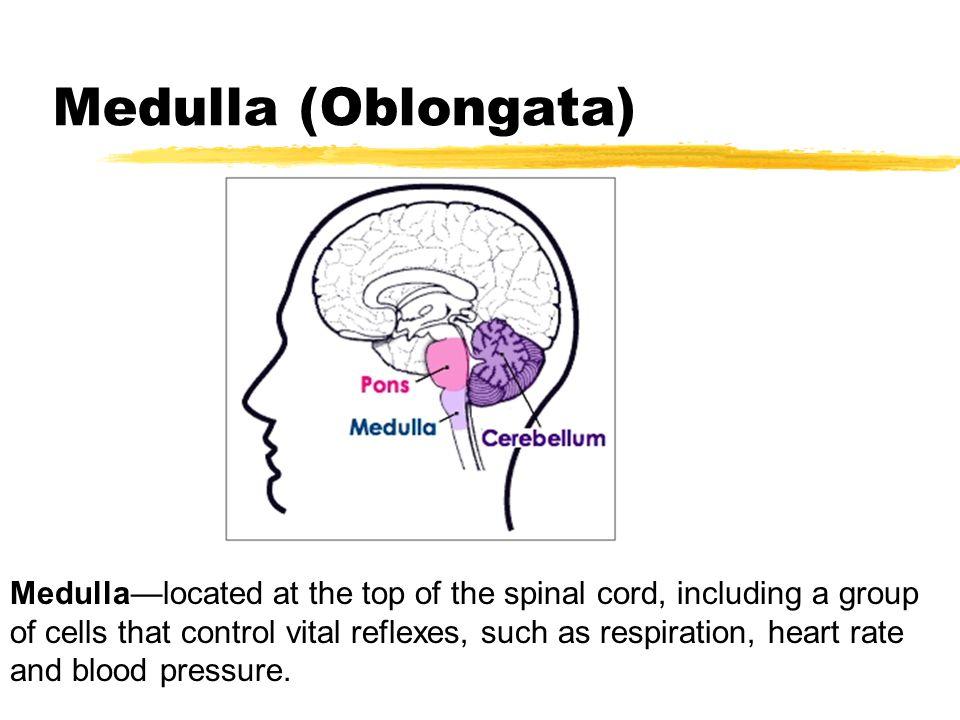Medulla (Oblongata)