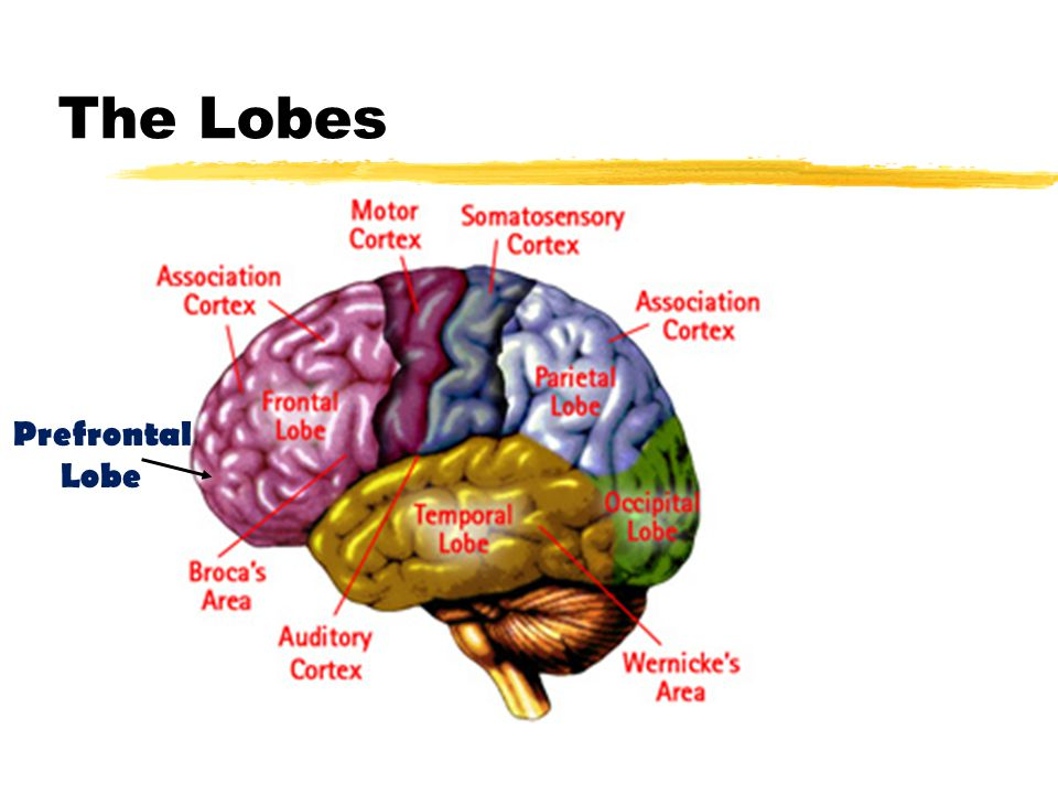 The Lobes Prefrontal Lobe
