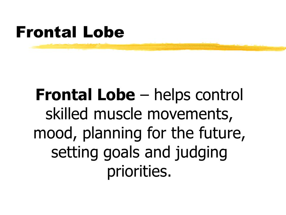 Frontal Lobe Frontal Lobe – helps control skilled muscle movements, mood, planning for the future, setting goals and judging priorities.