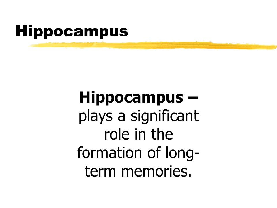 Hippocampus Hippocampus – plays a significant role in the formation of long-term memories.