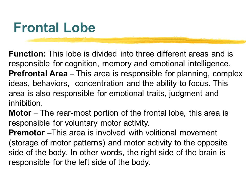 Frontal Lobe Function: This lobe is divided into three different areas and is responsible for cognition, memory and emotional intelligence.