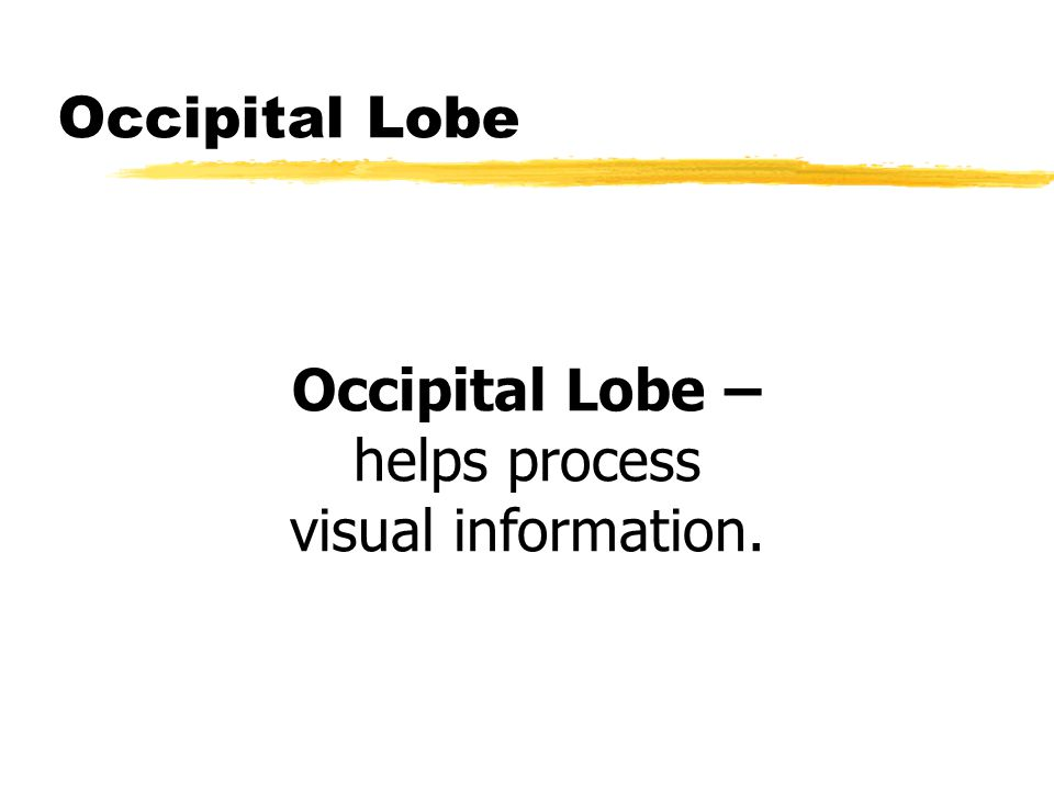 Occipital Lobe – helps process visual information.