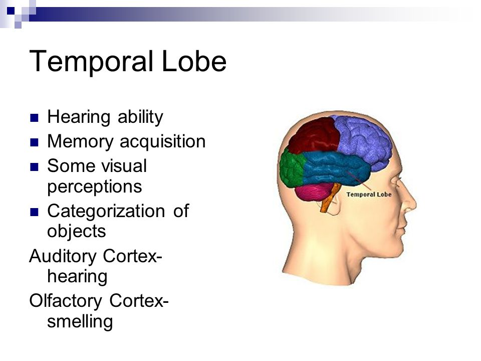 Temporal Lobe Hearing ability Memory acquisition