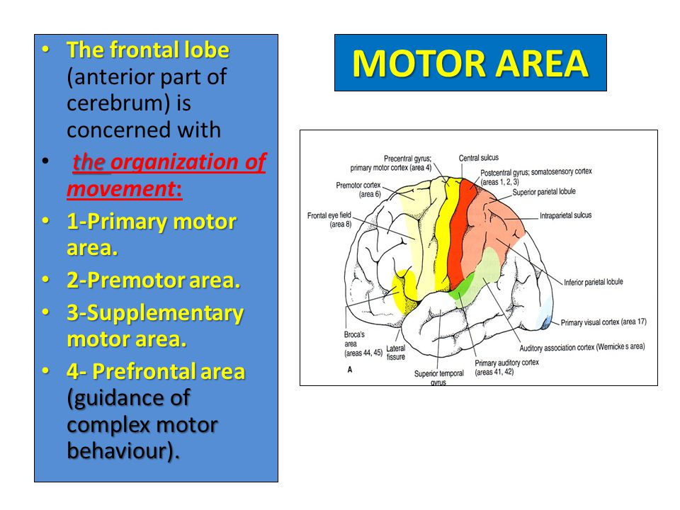 The frontal lobe (anterior part of cerebrum) is concerned with