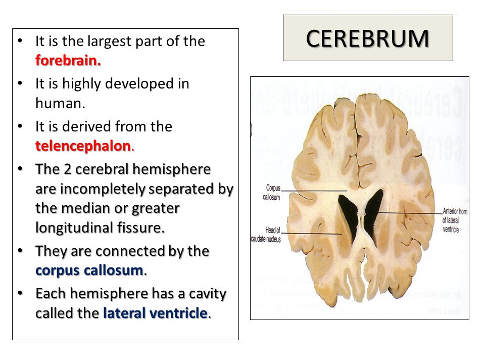 CEREBRUM It is the largest part of the forebrain.