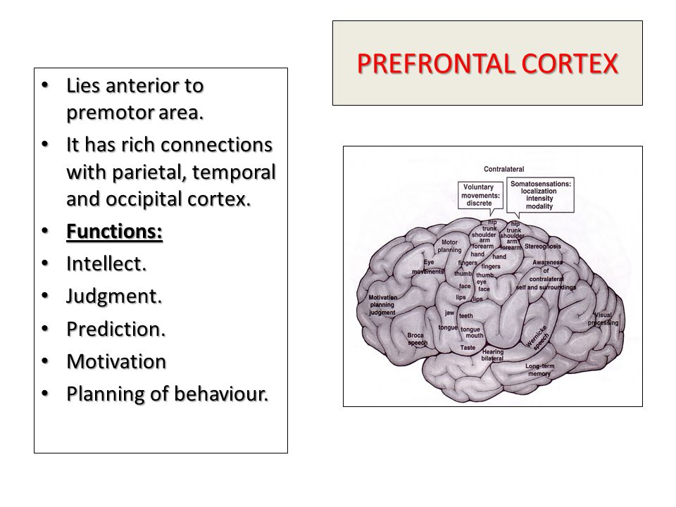 PREFRONTAL CORTEX Lies anterior to premotor area.