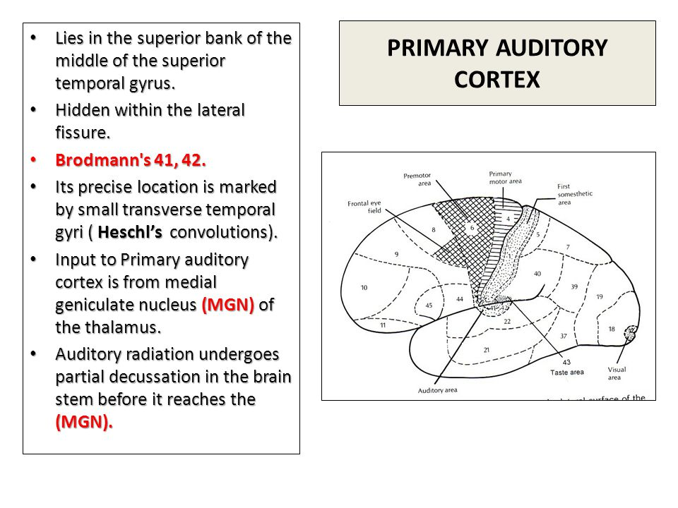 PRIMARY AUDITORY CORTEX