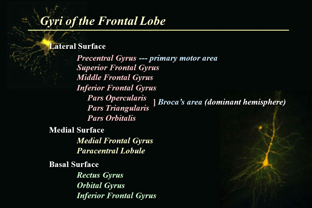 Gyri of the Frontal Lobe