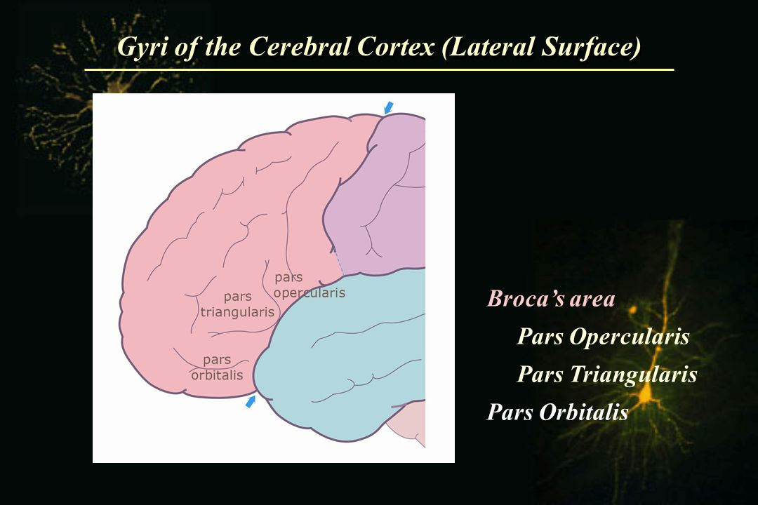 Gyri of the Cerebral Cortex (Lateral Surface)
