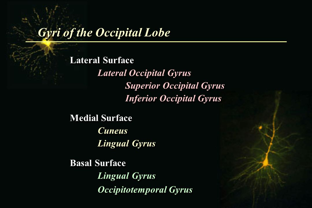 Gyri of the Occipital Lobe