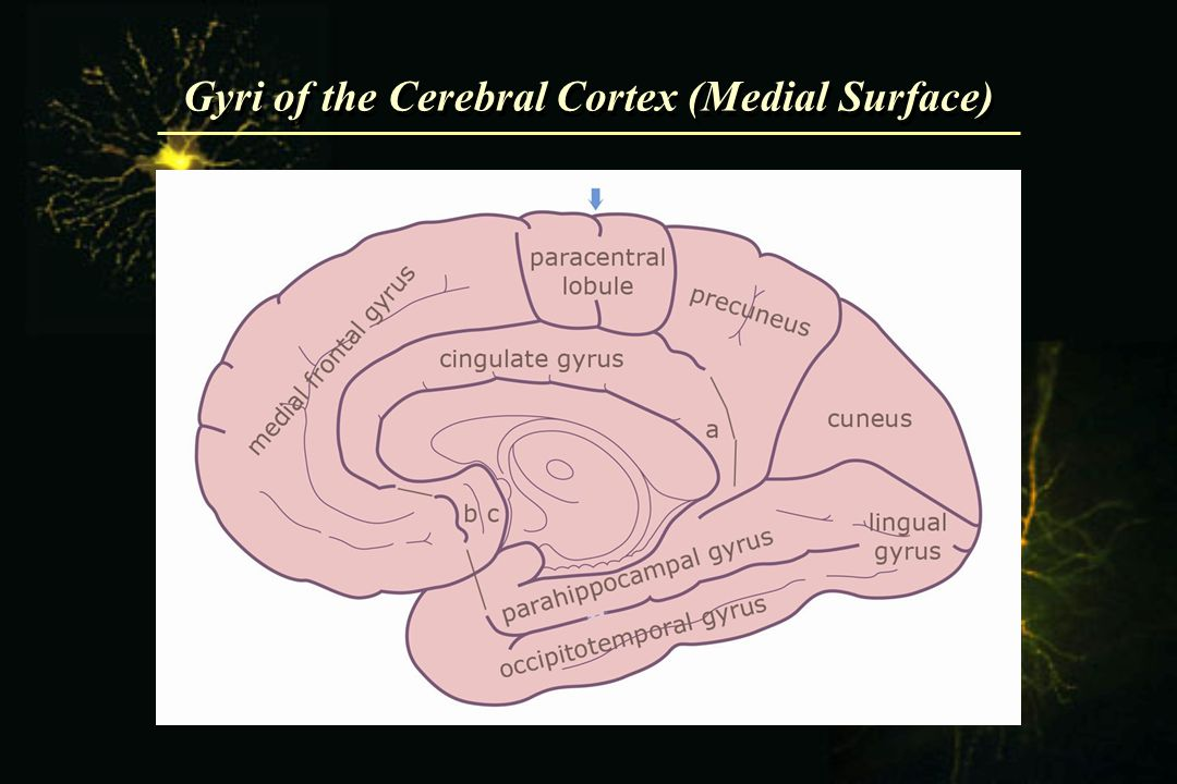 Gyri of the Cerebral Cortex (Medial Surface)