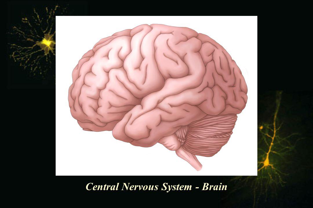 Central Nervous System - Brain