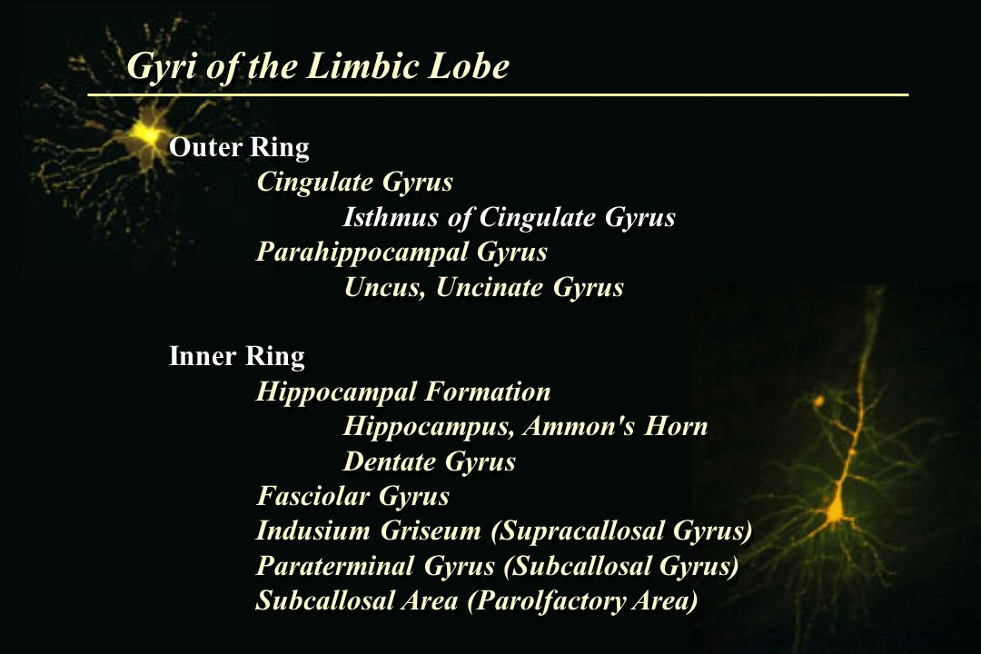 Gyri of the Limbic Lobe Outer Ring Cingulate Gyrus