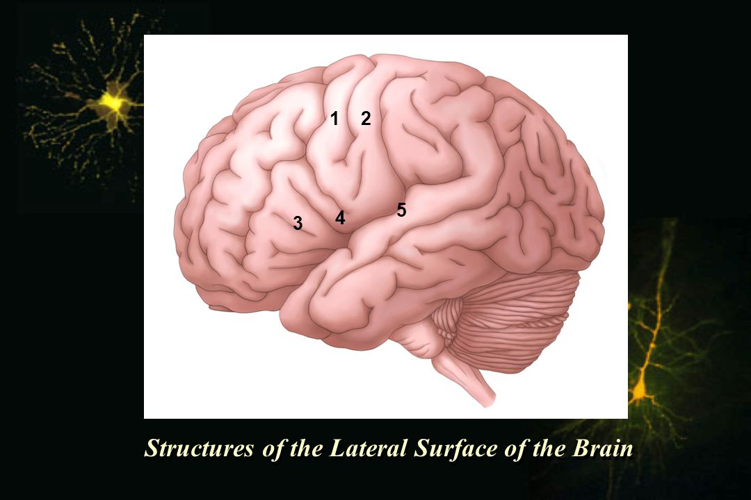 Structures of the Lateral Surface of the Brain