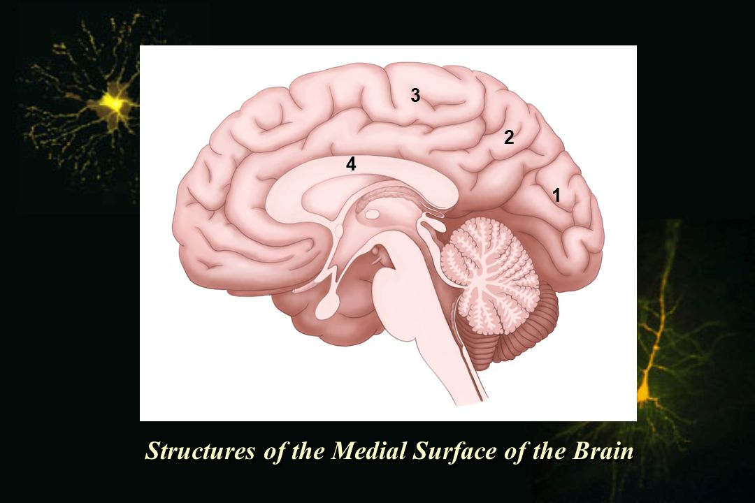 Structures of the Medial Surface of the Brain