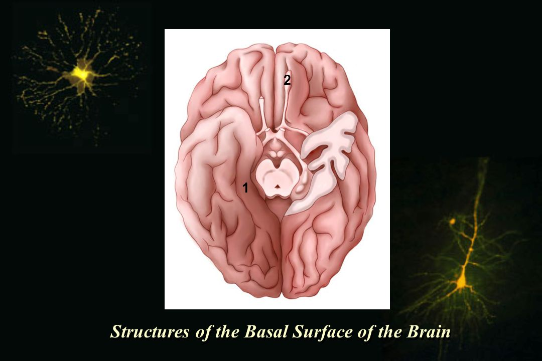 Structures of the Basal Surface of the Brain