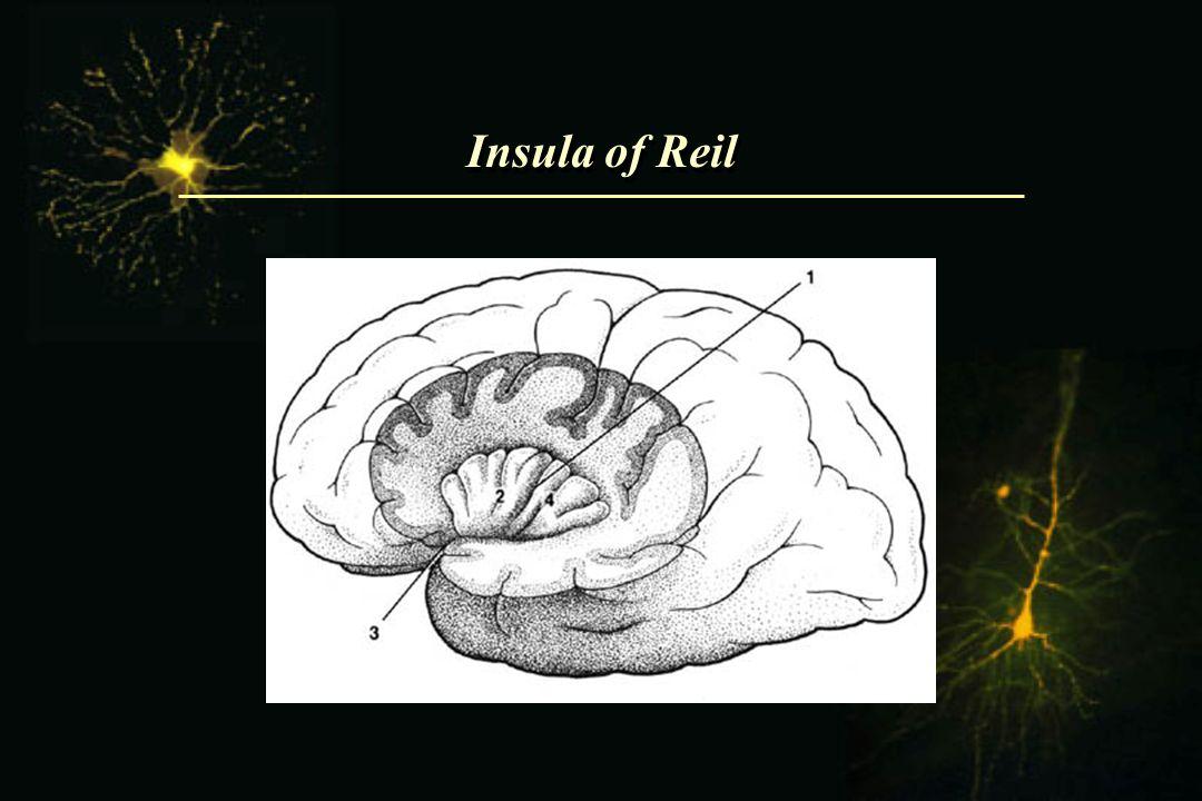 Insula of Reil