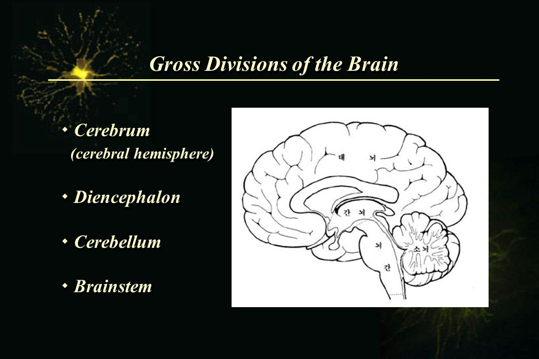 Gross Divisions of the Brain