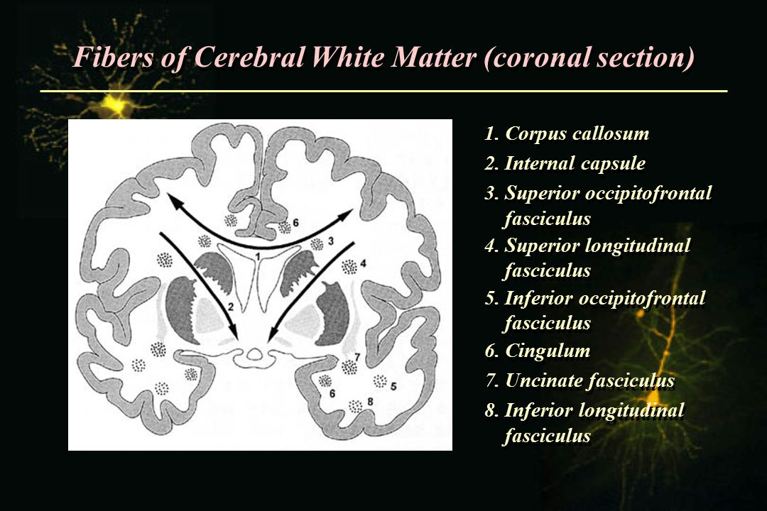 Fibers of Cerebral White Matter (coronal section)