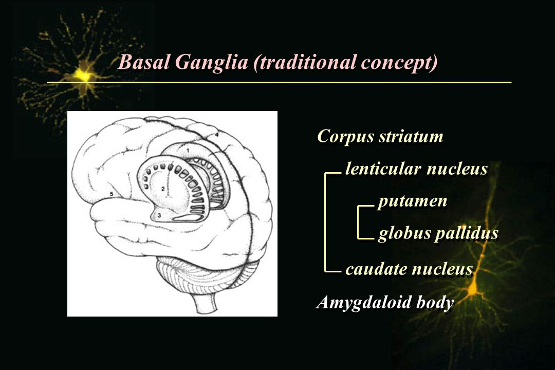 Basal Ganglia (traditional concept)