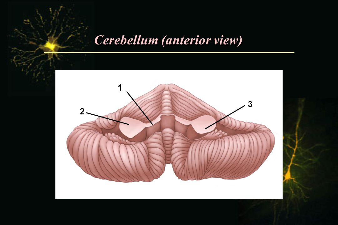 Cerebellum (anterior view)