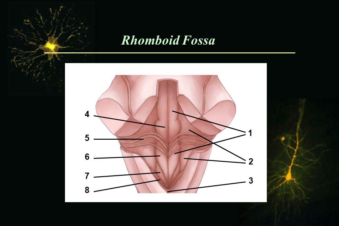 Rhomboid Fossa 4 1 5 6 2 7 3 8