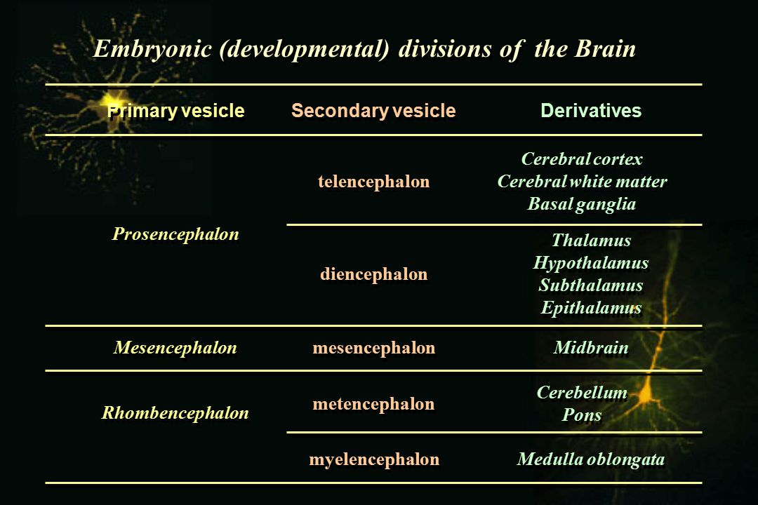 Embryonic (developmental) divisions of the Brain