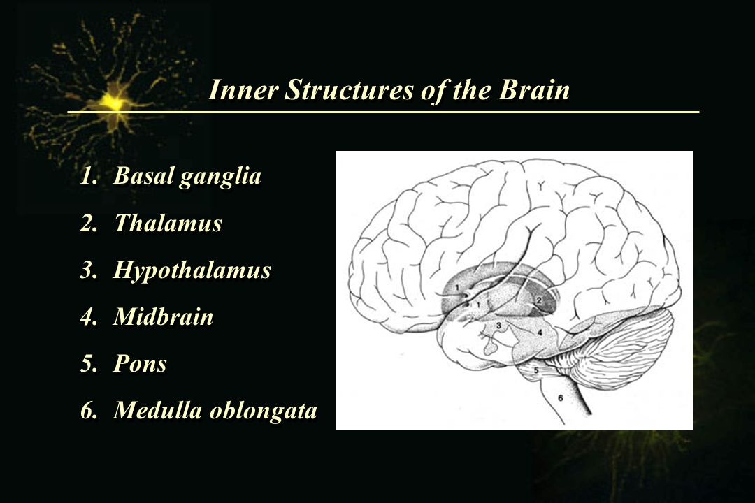 Inner Structures of the Brain