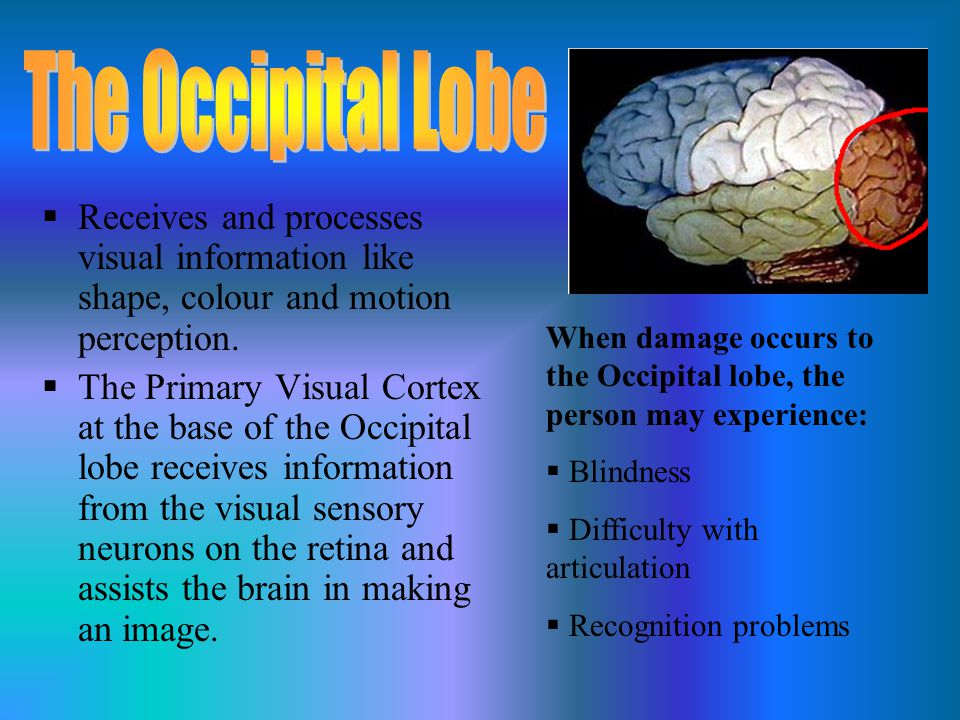 The Occipital Lobe Receives and processes visual information like shape, colour and motion perception.