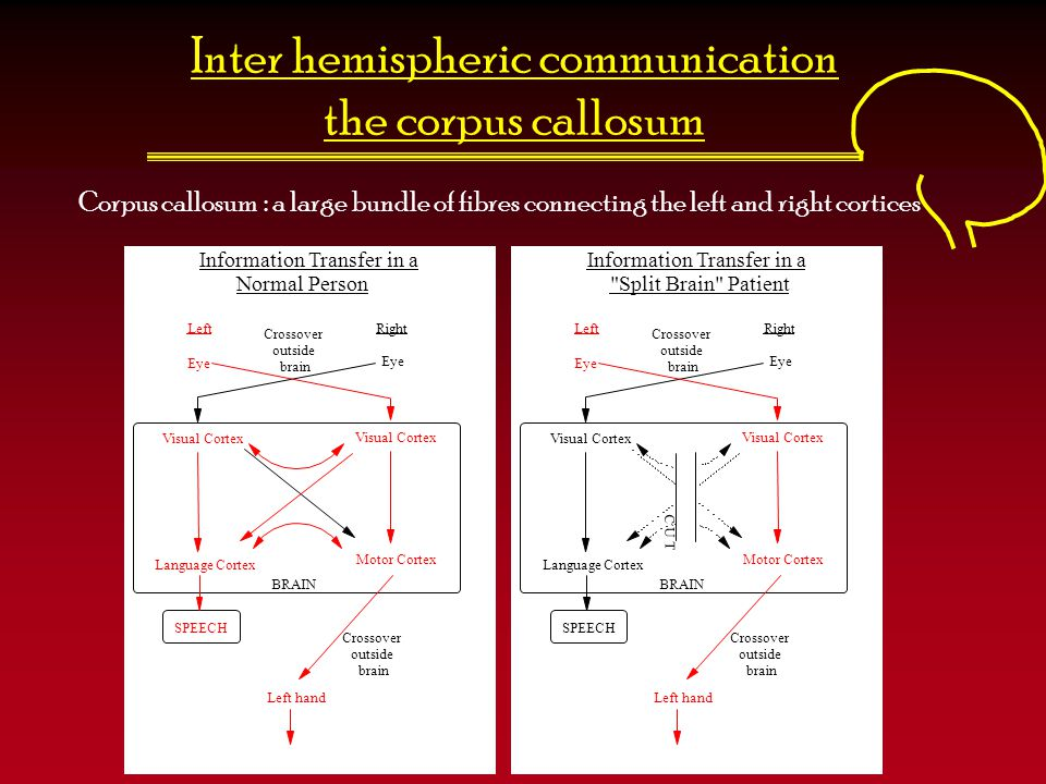 Inter hemispheric communication the corpus callosum