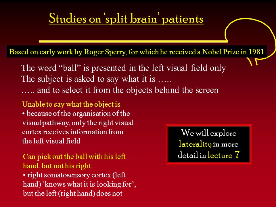 Studies on 'split brain' patients
