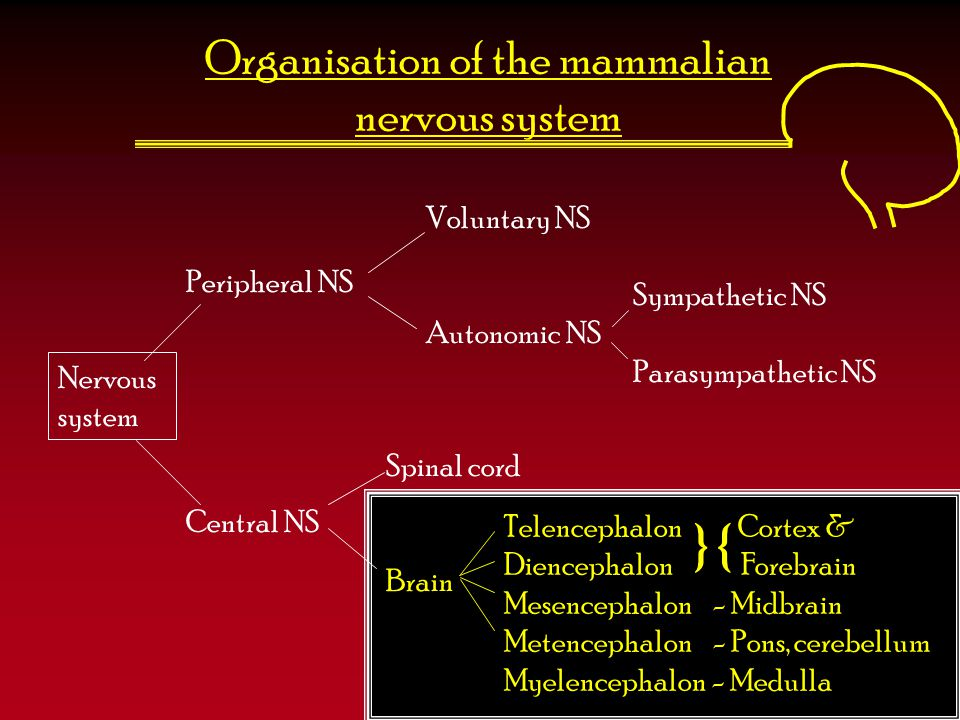 Organisation of the mammalian nervous system