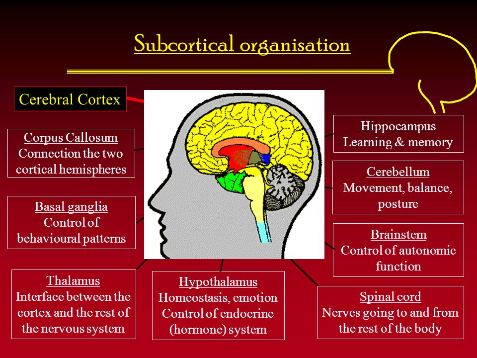 Subcortical organisation
