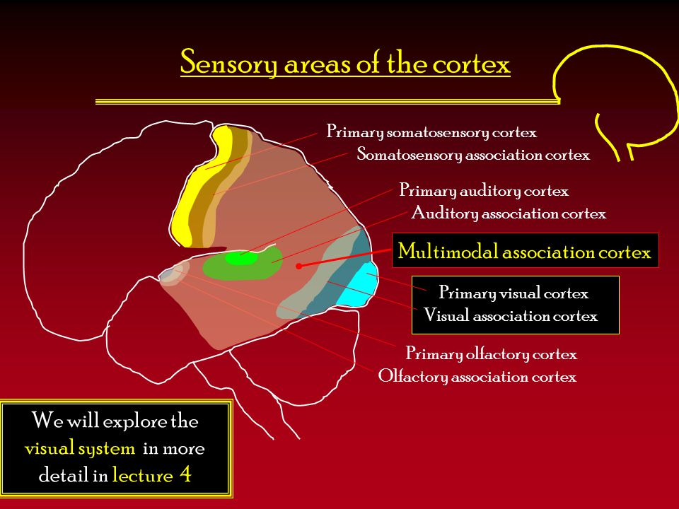 Sensory areas of the cortex