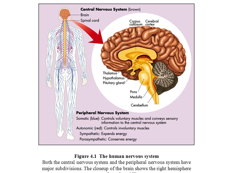 Figure 4.1 The human nervous system Both the central nervous system and the peripheral nervous system have major subdivisions.