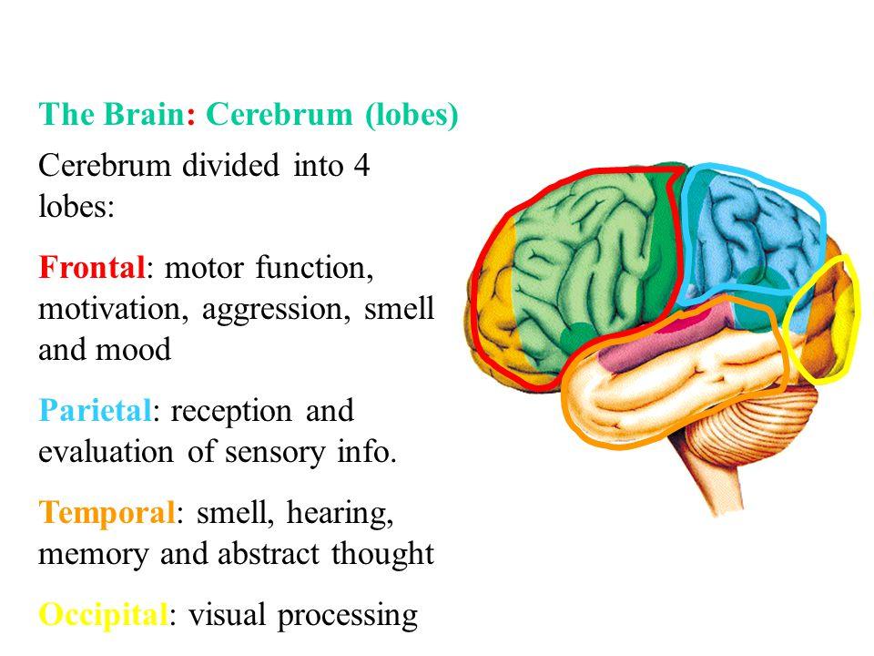The Brain: Cerebrum (lobes)