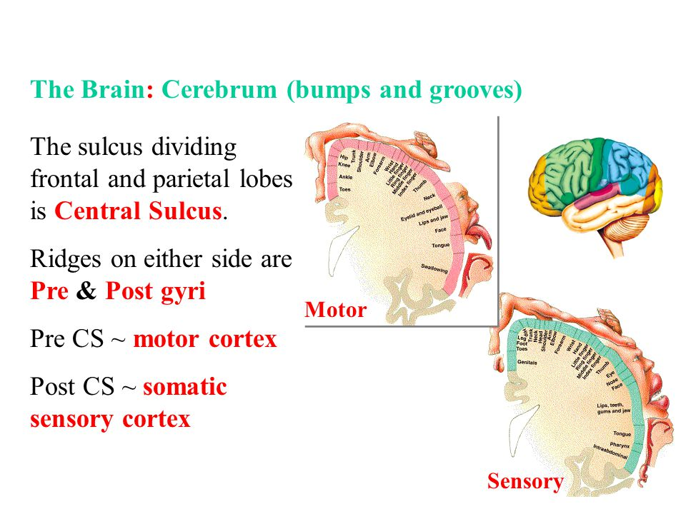 The Brain: Cerebrum (bumps and grooves)