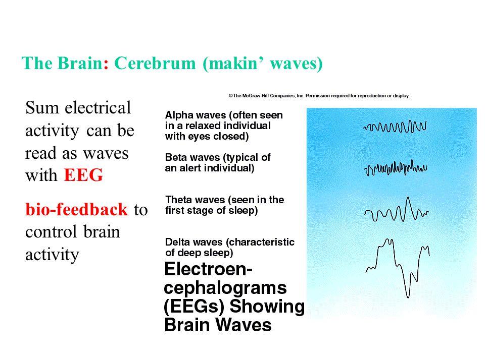 The Brain: Cerebrum (makin' waves)