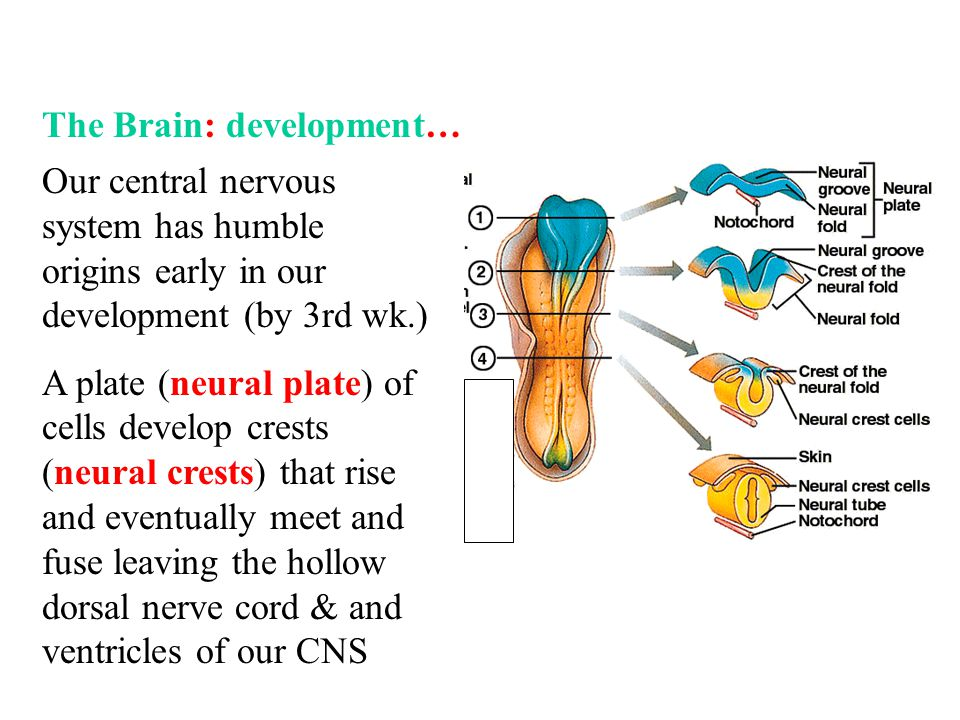 The Brain: development…