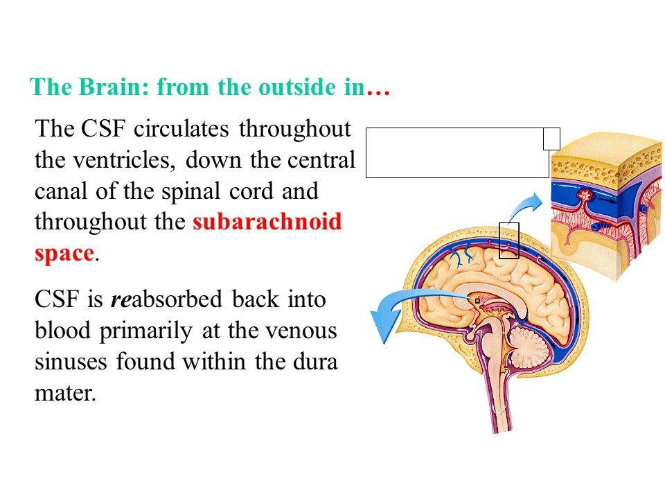 The Brain: from the outside in…